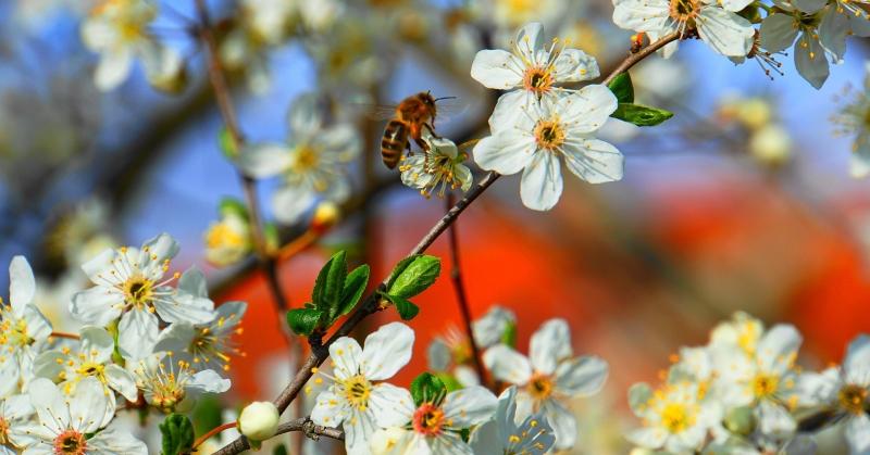 Pollen szórás